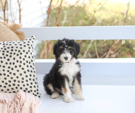 Bernedoodle puppy on swing