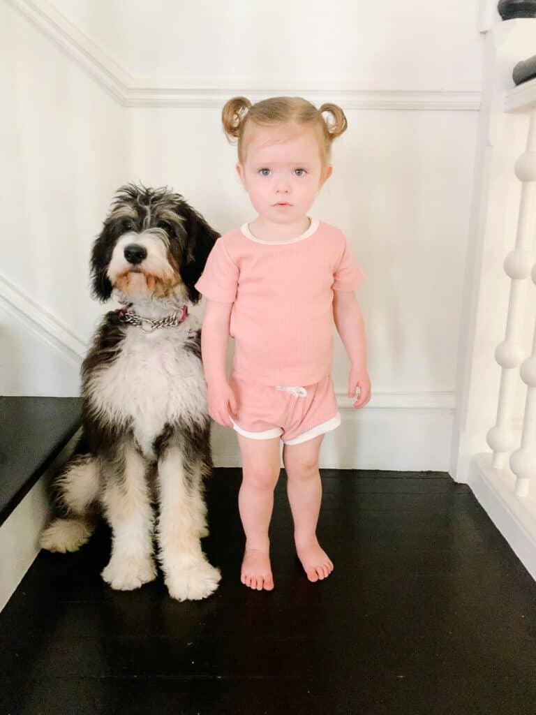 Berniedoodle next to toddler girl